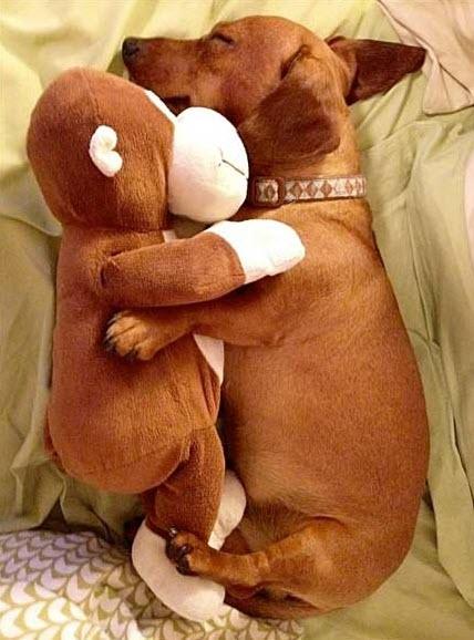 doxie cuddle
