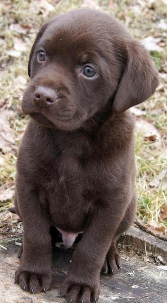 chocolat lab pup