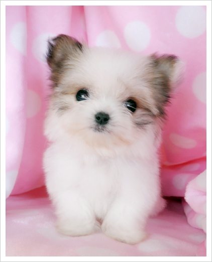 Papillon Maltese Puppy