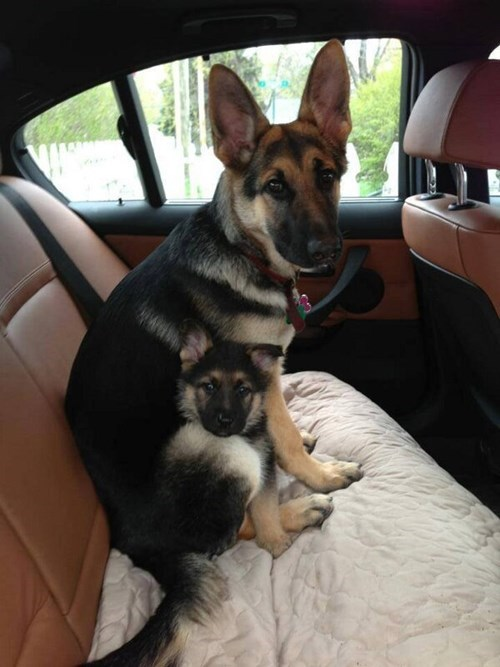 mum and puppy in car