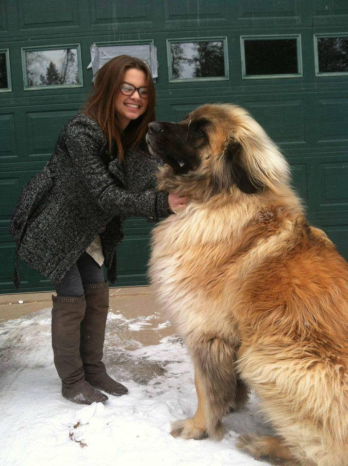 simba the leonberger