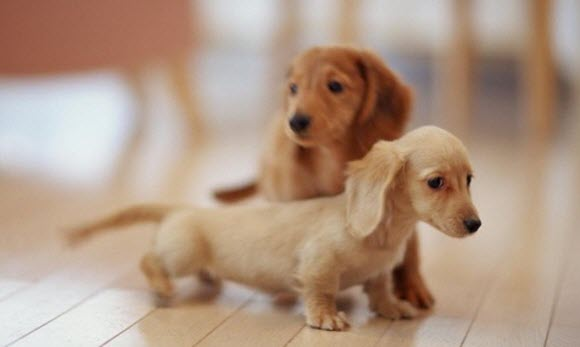 tiny dachshunds